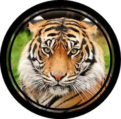 tiger framed in a circle frame